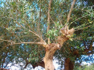 250112-olives-from-crete-greece