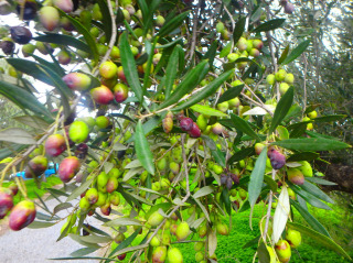 04-olives-from-crete-23482394820