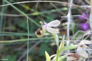 orchids-on-Crete-in-April