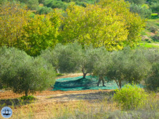 olives-work-on-crete