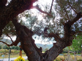 250112-olive-oil-from-crete