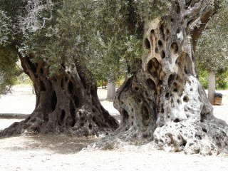 17062010-olives-from-crete-