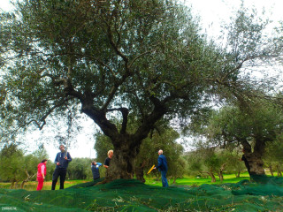 01-Sales-of-olive-oil-from-Crete