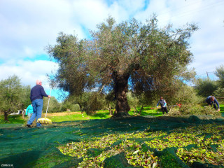 02-winter-holidays-in-Crete-with-olive-harvest