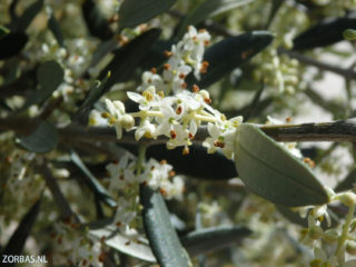 olive-flowers