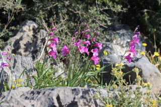 orchids-on-Crete-in-March